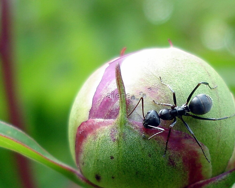 Ant protecting his flower bud. by ailene