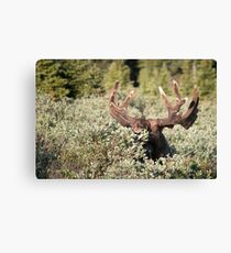 Big bull eating Canvas Print