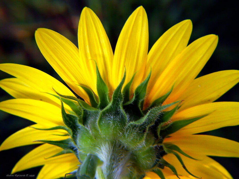 sunflower by Andrea Rapisarda