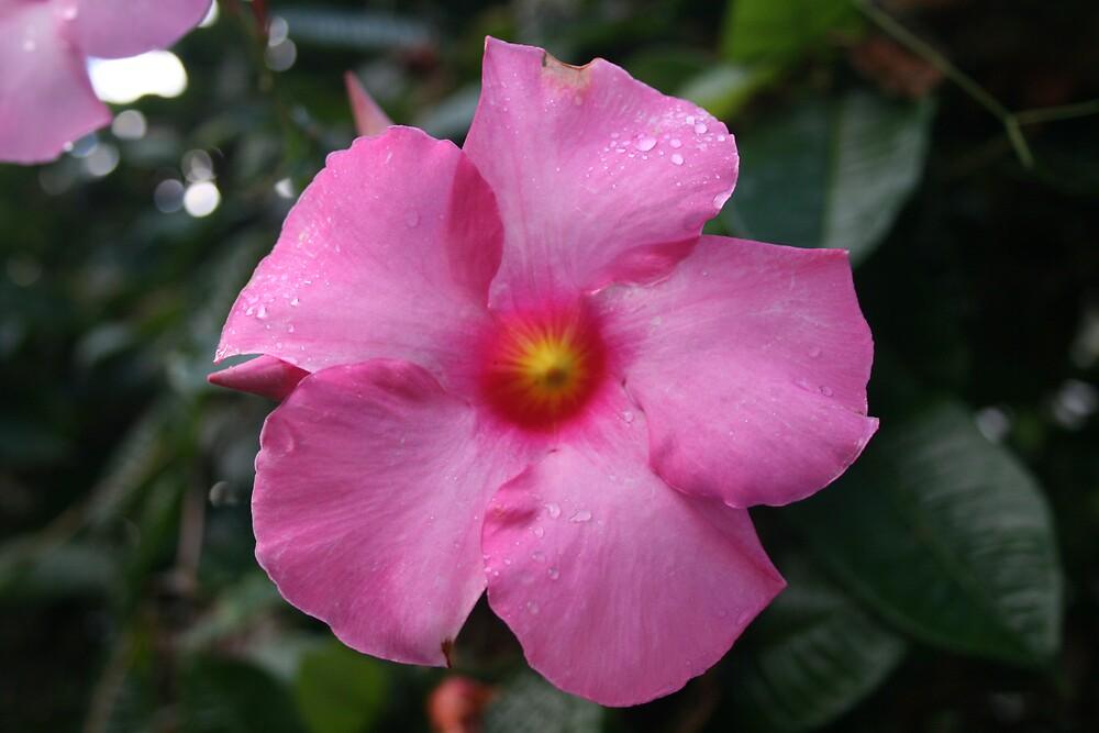 Pink Flower by AnnetteK