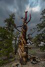 Bristle Cone Pine Twist by photosbyflood