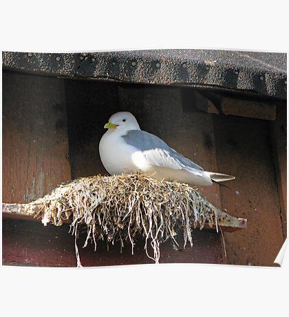 Nesting Seagull Poster