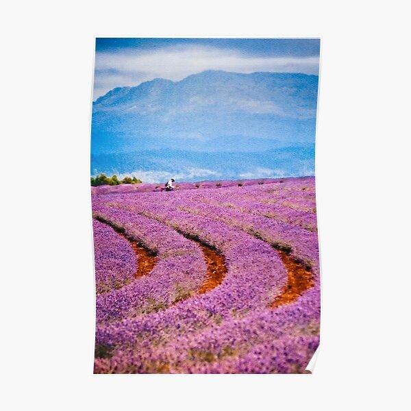 Lavender fields forever... Poster