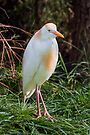 Cattle Egret by Kenneth Keifer