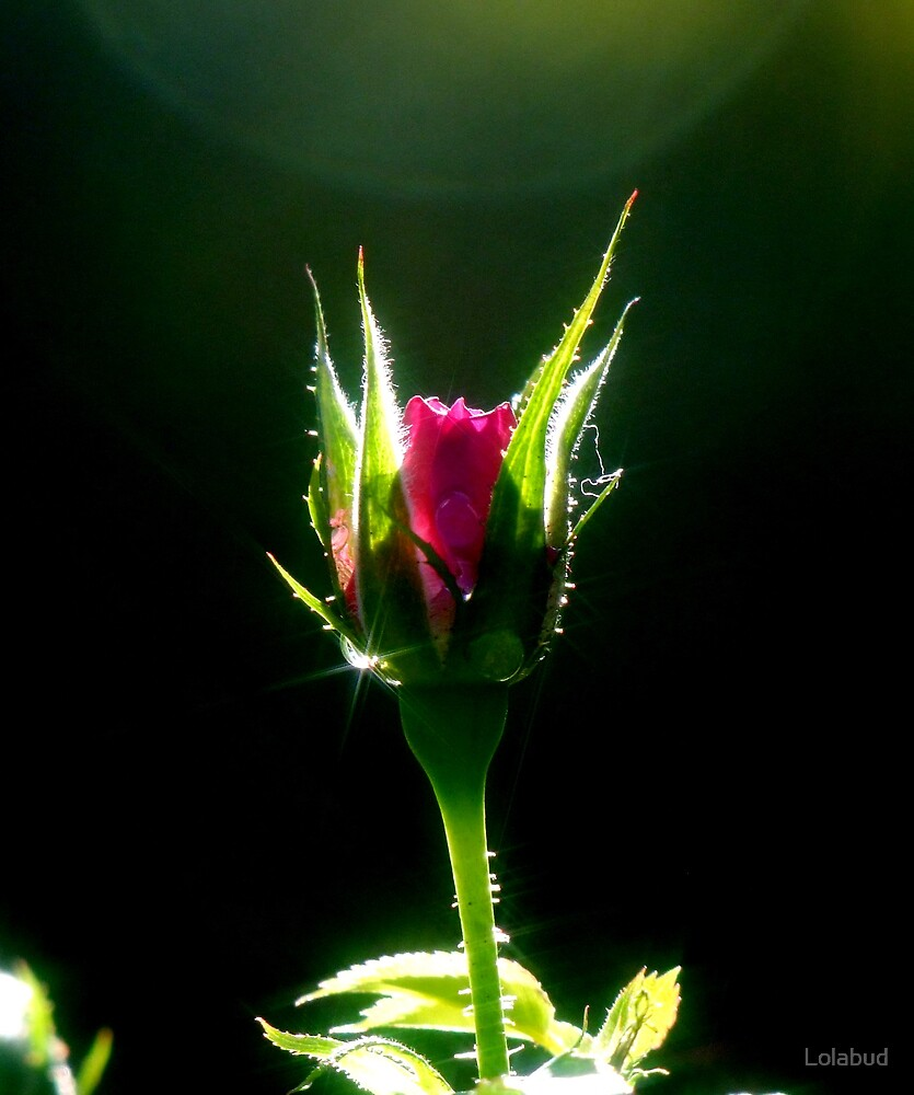 Little Red Rose by Lolabud