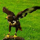 Harris Hawk #2 by Trevor Kersley