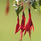 Fuchsia Fairy by Pamela Jayne Smith