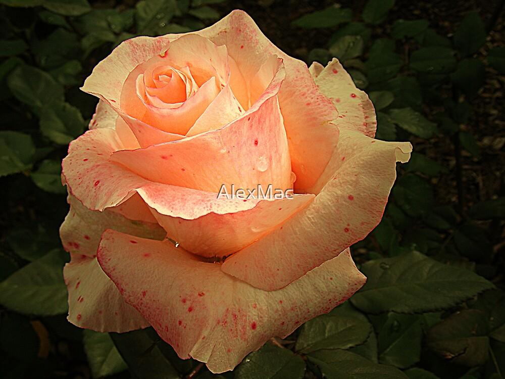 Peach Petals by AlexMac