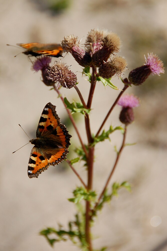 BUTTERFLY ON THISTLE 2 by pulsdesign