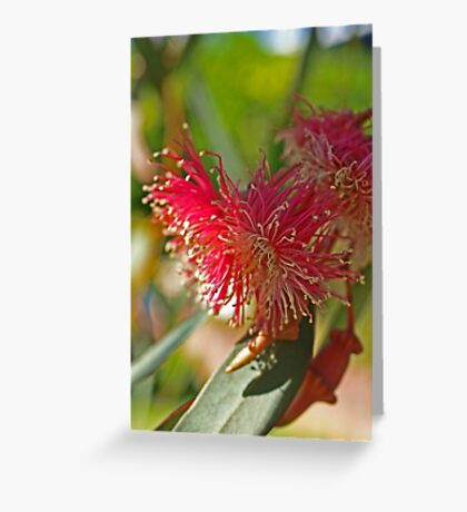 Red Eucalypt Greeting Card