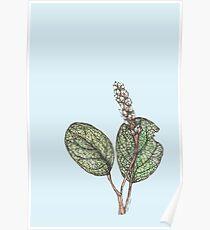 Salix Reticulata Poster