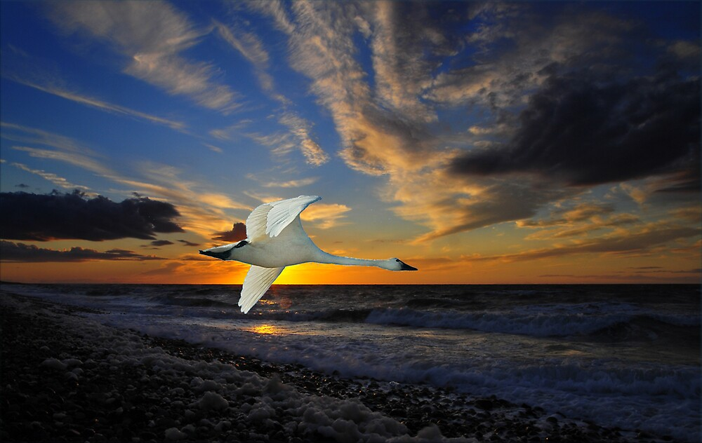 1018 Swan Sunset by George W Banks