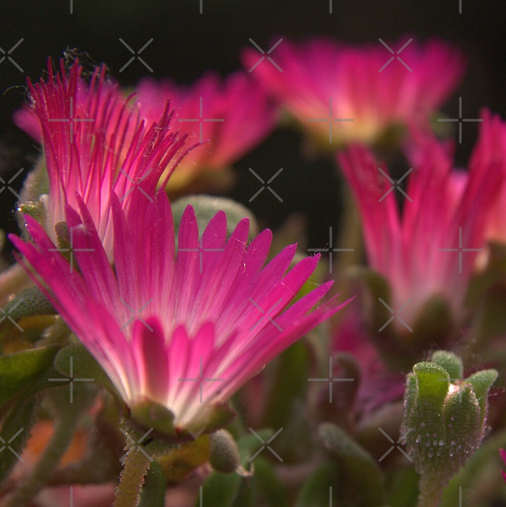 Vibrant Pink by KLiu
