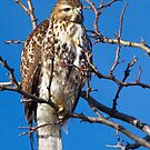 Cooper's Hawk by Valentina Gatewood