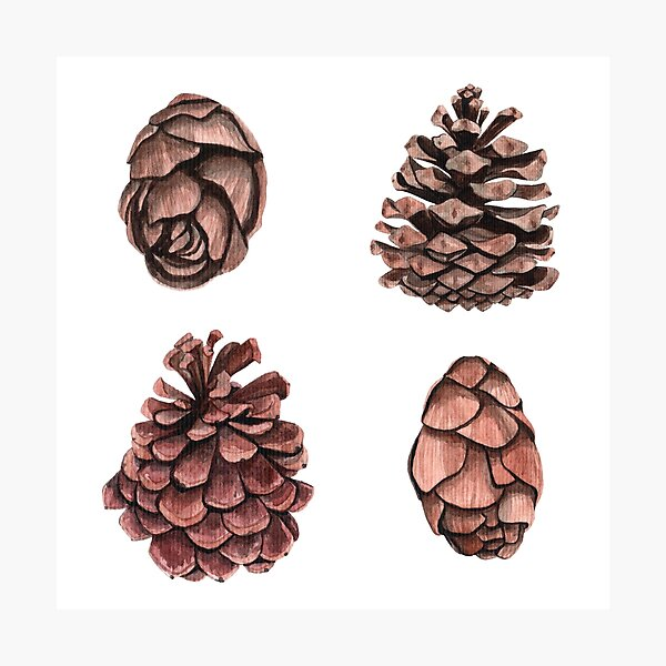 Beautiful pine cones Photographic Print