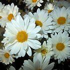 white chrysanthemums bunch 1 11/03/17 by Shellaqua