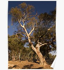 River Red Gum Tree Poster