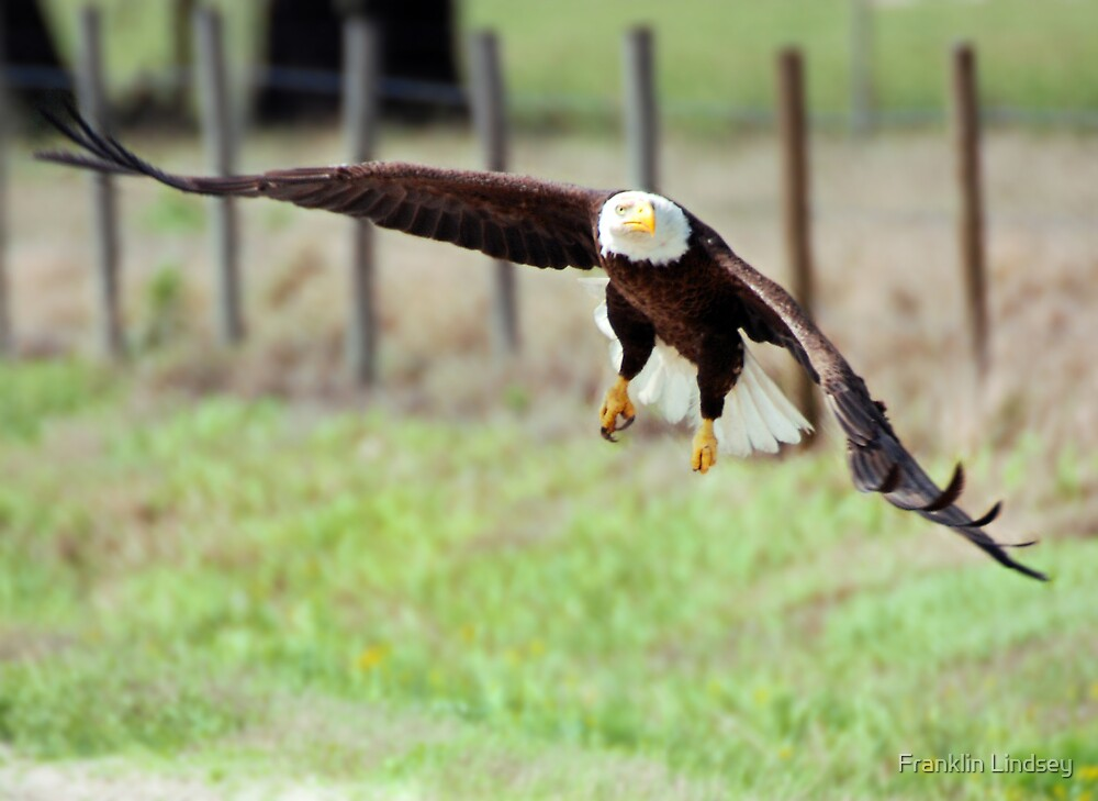 Swooping Down by Franklin Lindsey