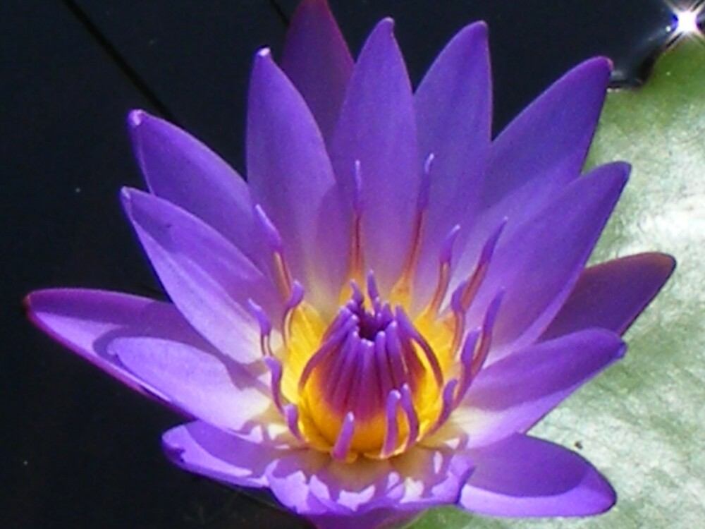 blue water lily by gaylene
