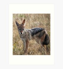 Black-Backed Jackal (Canis mesomelas), Central Kalahari Game Reserve ,Botswana Art Print