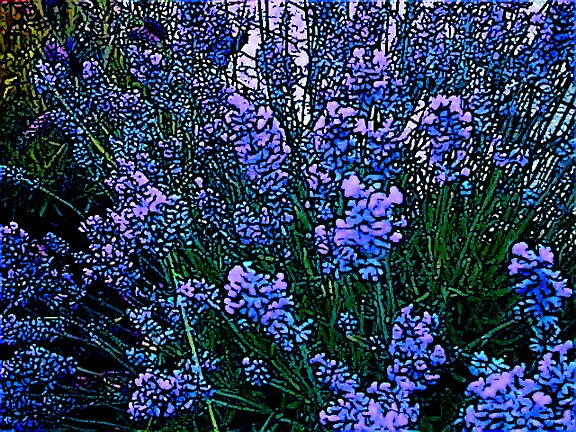 Blue Lavender Sketch by Julia Mainwaring-Berry