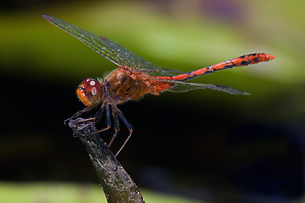 Common Percher Dragonfly by Greg Carlill