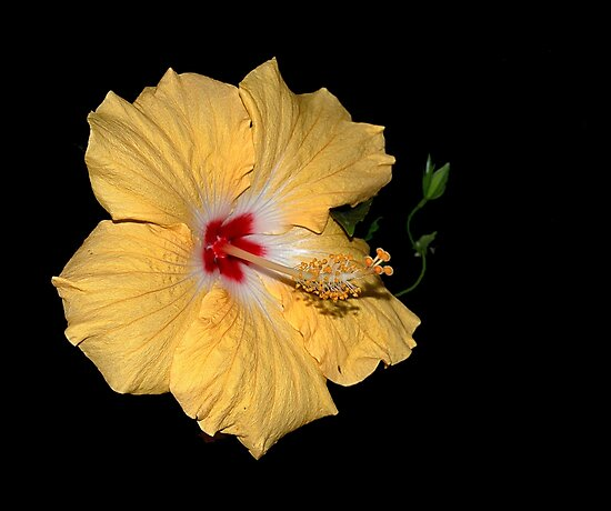 Hibiscus Flower by Kathy Weaver