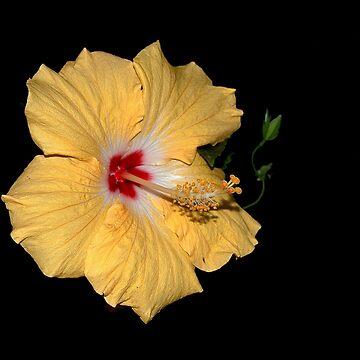Hibiscus Flower by kdxweaver