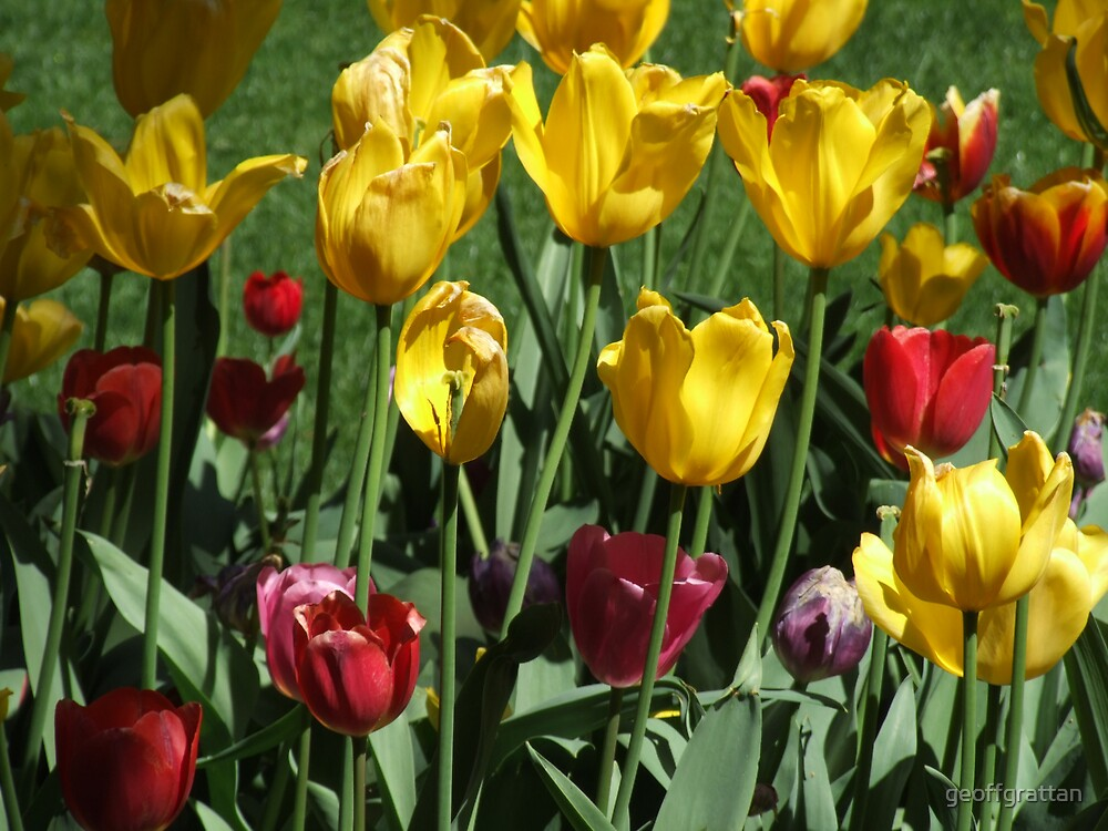 tulips at moss vale by geoffgrattan