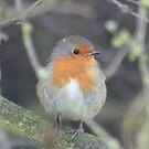 Robin by Cheryl Davies