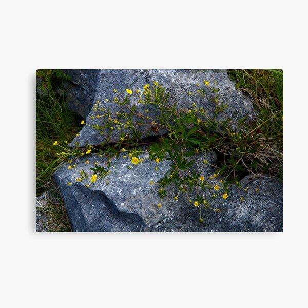 Tormentil, Dun Aengus, Inishmore, Aran Islands Canvas Print