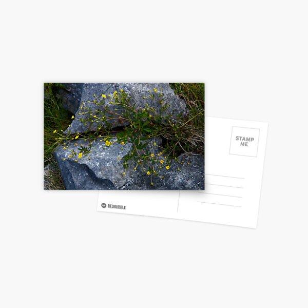 Tormentil, Dun Aengus, Inishmore, Aran Islands Postcard