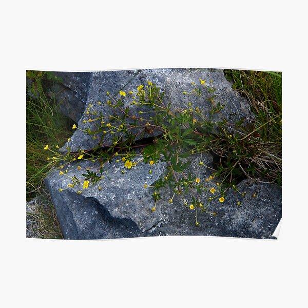 Tormentil, Dun Aengus, Inishmore, Aran Islands Poster