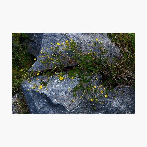 Tormentil, Dun Aengus, Inishmore, Aran Islands Photographic Print