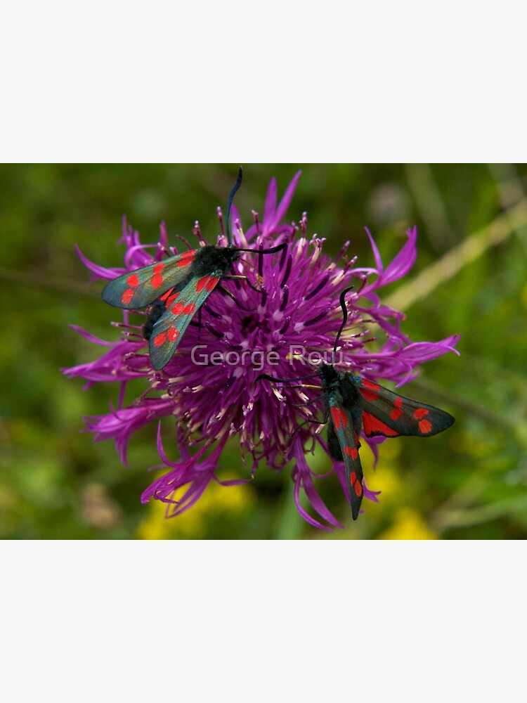 """Greater Knapweed with """"6-spot Burnet"""" Moths by VeryIreland"""