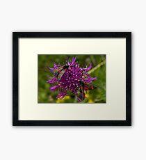 """Greater Knapweed with """"6-spot Burnet"""" Moths Framed Print"""