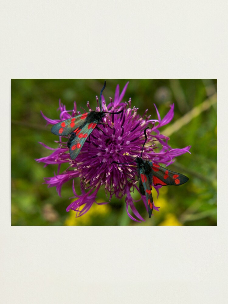 """Alternate view of Greater Knapweed with """"6-spot Burnet"""" Moths Photographic Print"""
