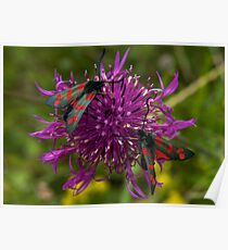 "Greater Knapweed with ""6-spot Burnet"" Moths Poster"