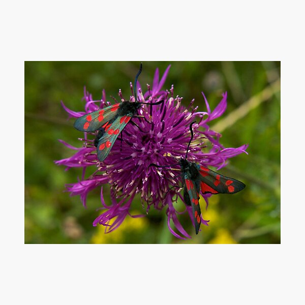 "Greater Knapweed with ""6-spot Burnet"" Moths Photographic Print"