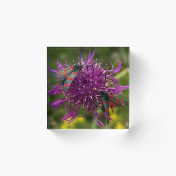 """Greater Knapweed with """"6-spot Burnet"""" Moths Acrylic Block"""