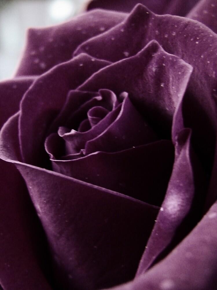 Purple Rose II by CarlaSophia