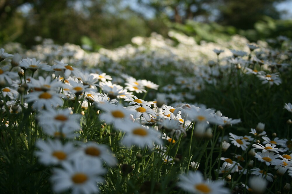 A Sea of Daisies by AnnetteK