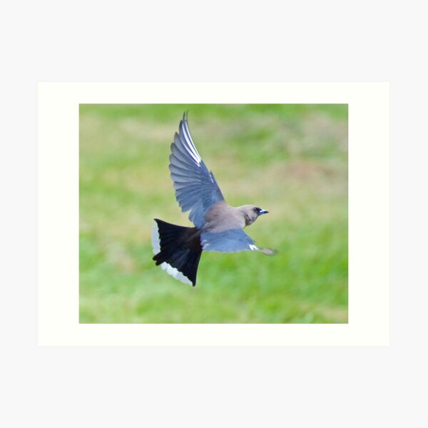 SWALLOW ~ Dusky Woodswallow by David Irwin ~ WO Art Print
