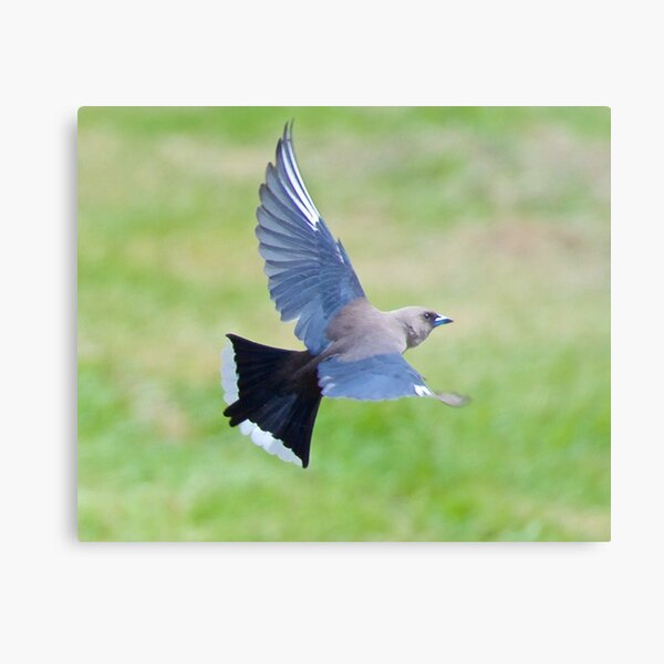 SWALLOW ~ Dusky Woodswallow 6V2WWVLT by David Irwin ~ WO Metal Print
