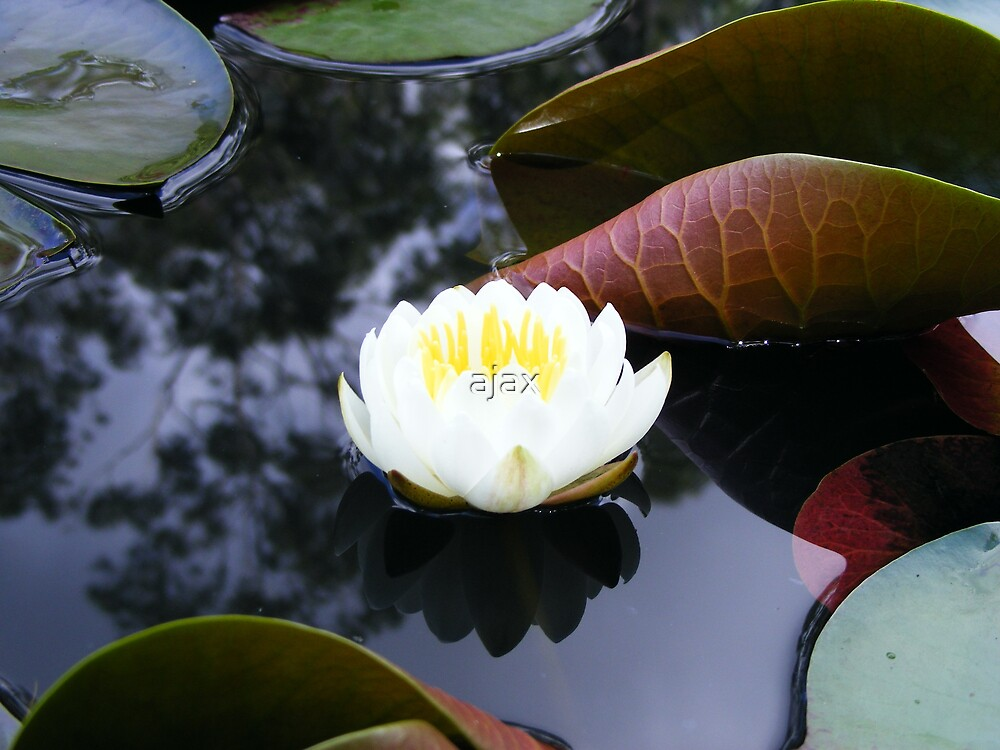 lily reflection by ajax