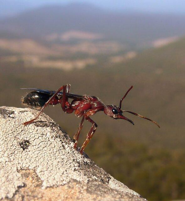 Australian Bull-Ant  by Steven  Sandner