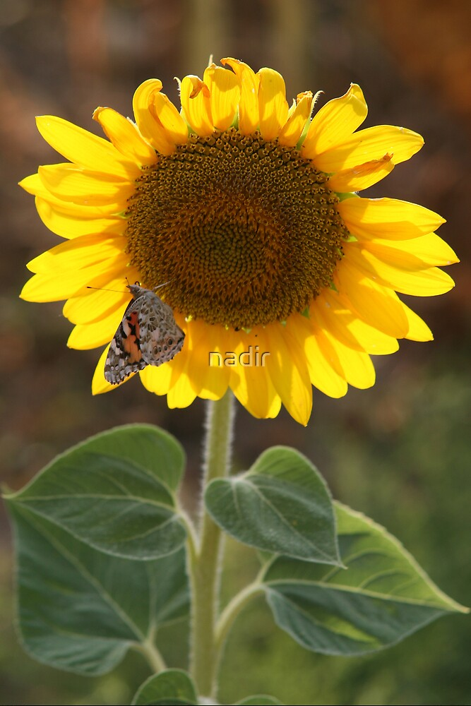 butterfly on sunflower by nadir