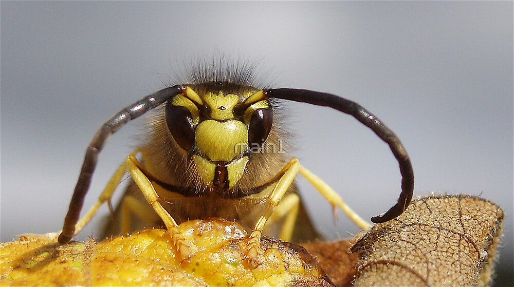 Yellow Jacket on leaf by main1