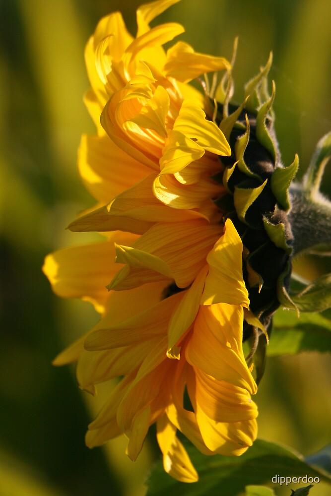 Sunflower by dipperdoo