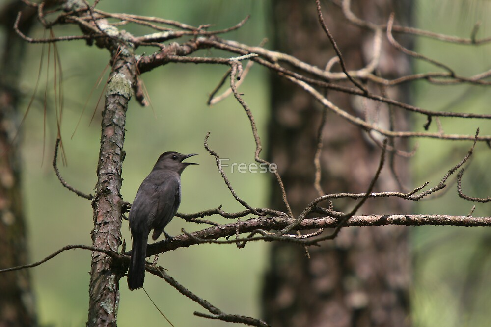 Gray Catbird by Freese